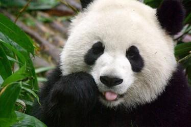 Panda de Sichuan