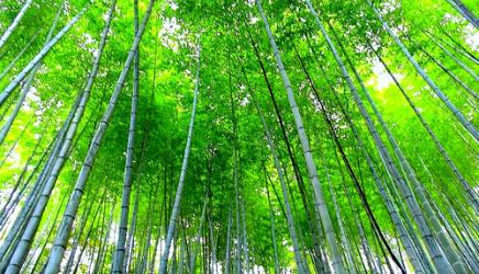 Floresta de Bambus